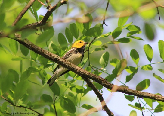 Black-throated Green Warbler 032