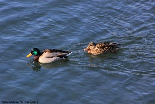 Ducks, Mallard 001