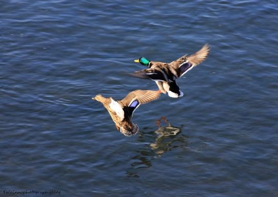 Ducks, Mallard 007