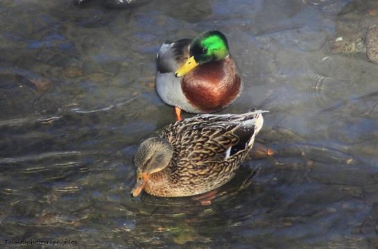 Ducks, Mallard 018