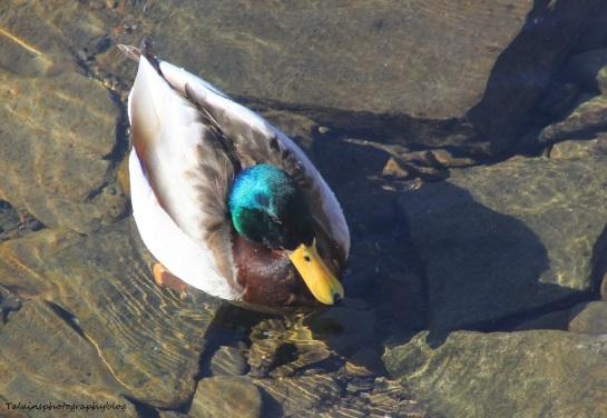 Ducks, Mallard 022