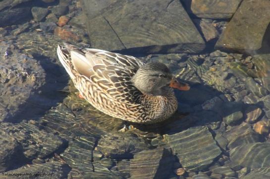 Ducks, Mallard 023