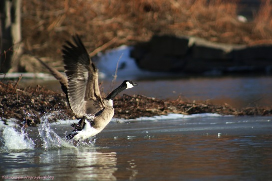 Geese, Canada 016