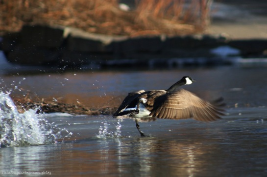 Geese, Canada 017