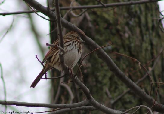 Sparrow, Song, 002