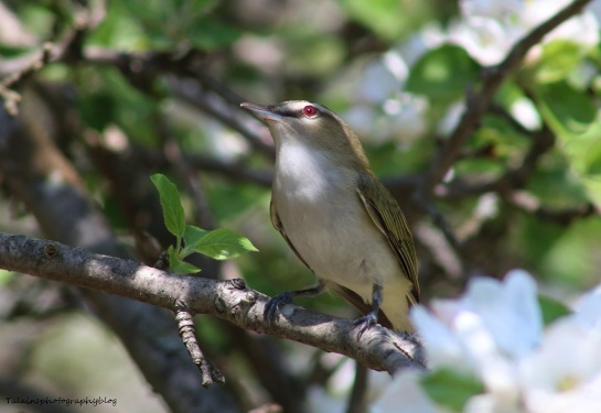 Vireo, Red-eyed 011