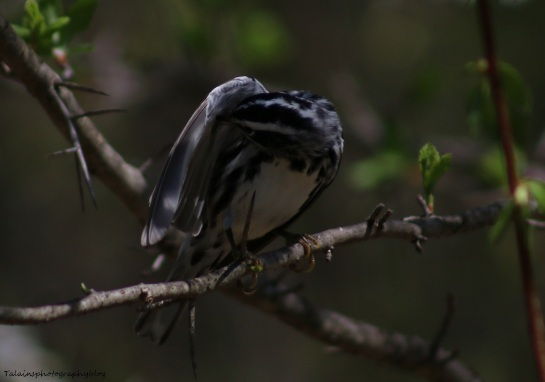 Warbler, Black-and-White 019