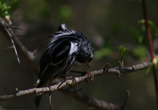 Warbler, Black-and-White 022