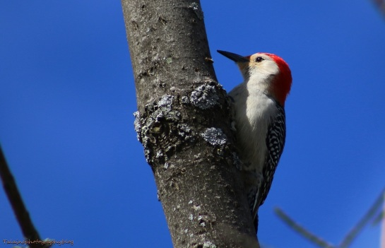 woodpecker, Red-bellied 010