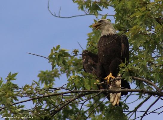 Bald Eagle 034