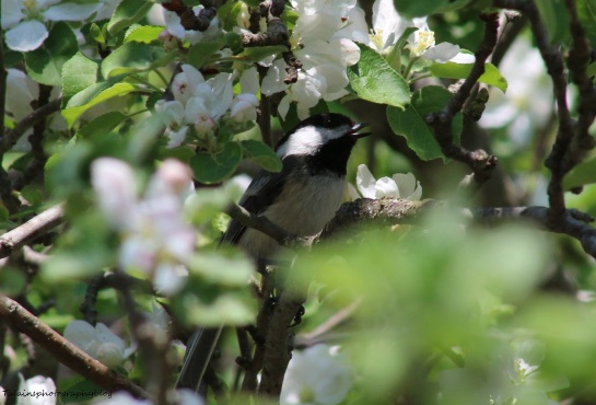 Black-capped Chickadee 009
