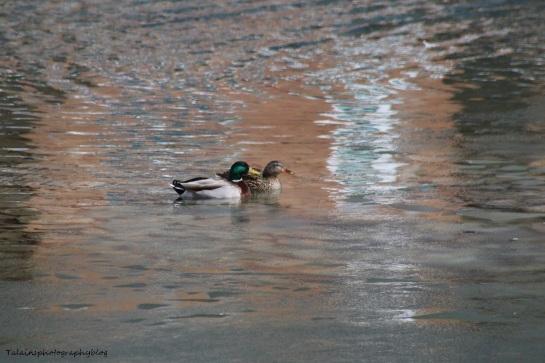 Ducks, Mallard 040