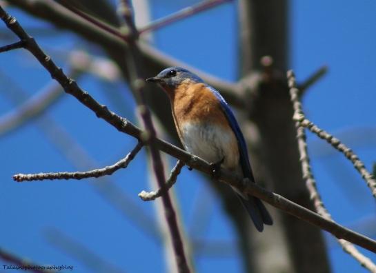Eastern Bluebird 004