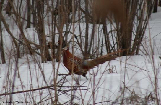 Ring-necked Pheasant 003