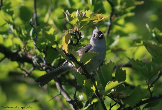Tufted Titmouse 011