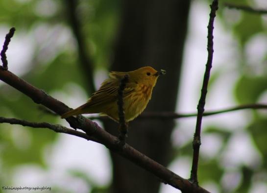Warbler, Yellow 003