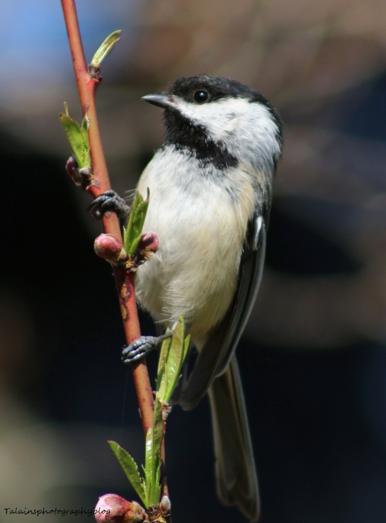 Black-capped Chickadee 004
