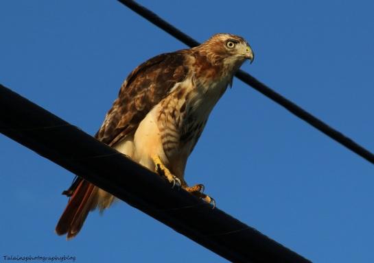 Hawk, Red-tail 023