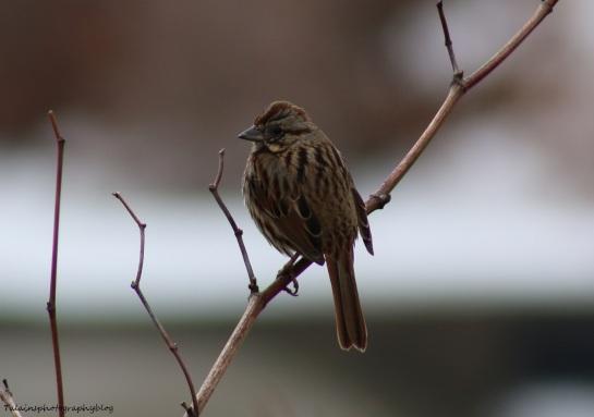 Sparrow, Song, 018