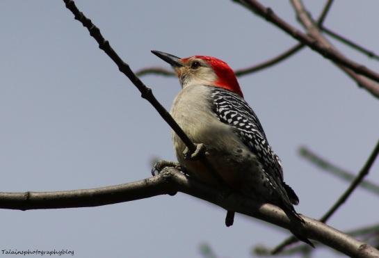 woodpecker, Red-bellied 015