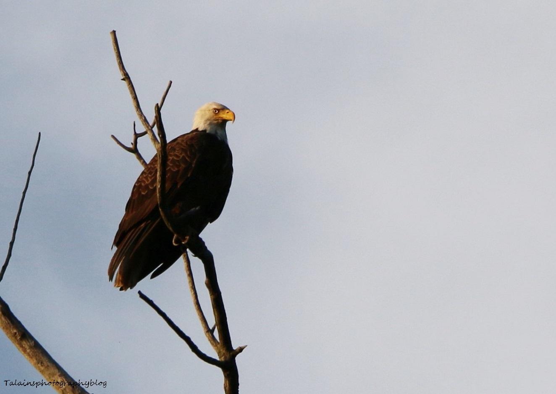 Bald Eagle 049
