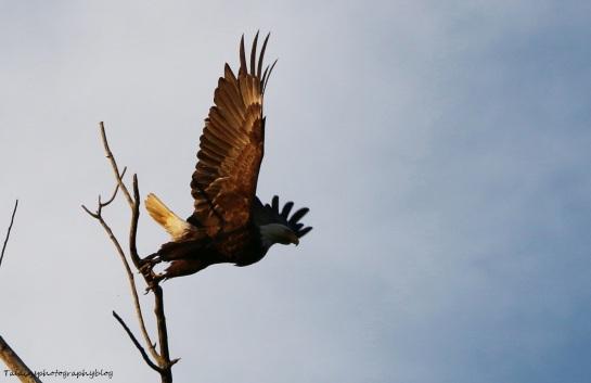 Bald Eagle 050