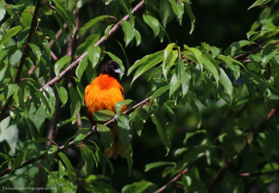Baltimore Oriole 005