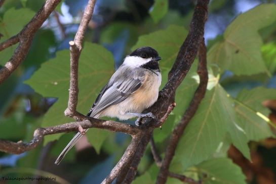 Black-capped Chickadee 012