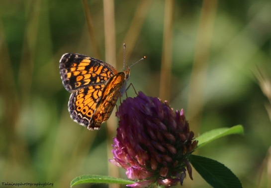 Butterfly 110