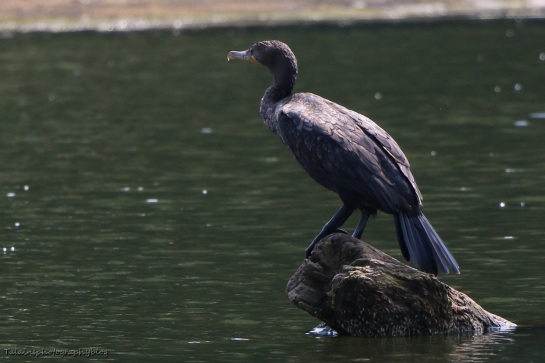 Double-crested Cormorant 011