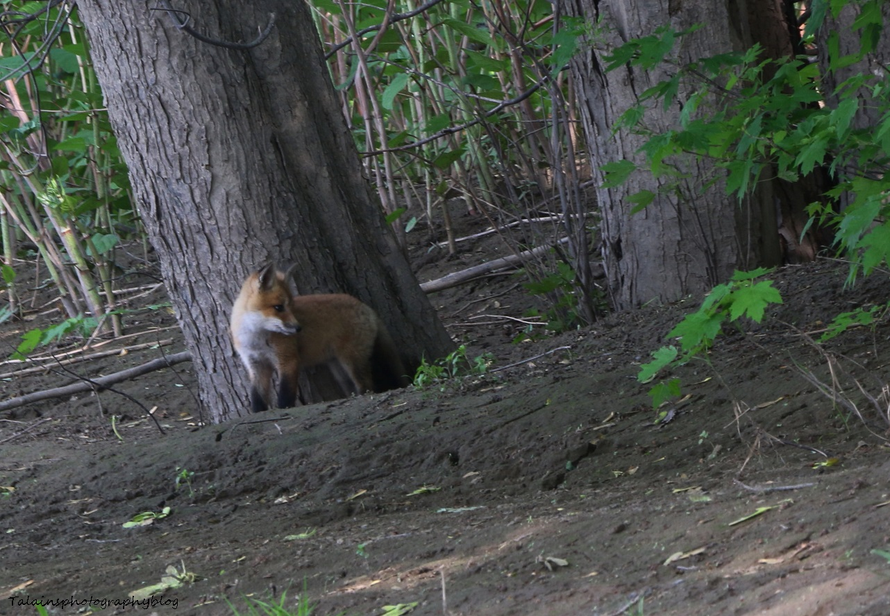 Fox 04