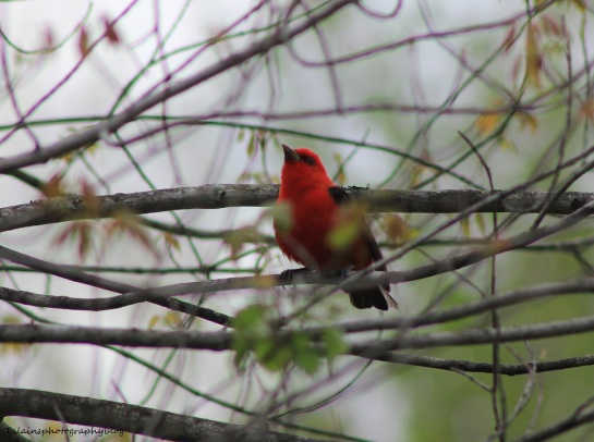 Scarlet Tanager 014