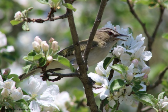 Vireo, Red-eyed 024