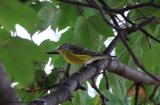 warbler, Magnolia 006