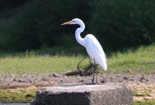 White Heron 09