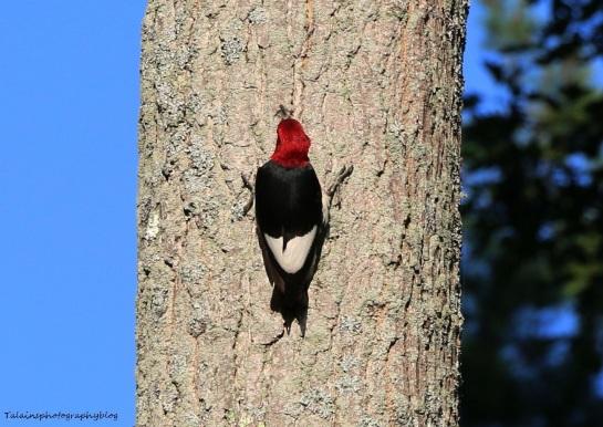 woodpecker, Red-headed 005