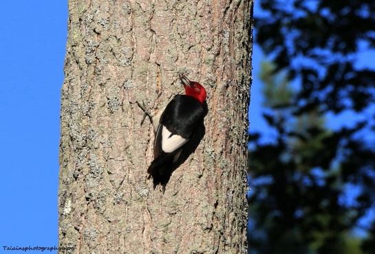 woodpecker, Red-headed 006