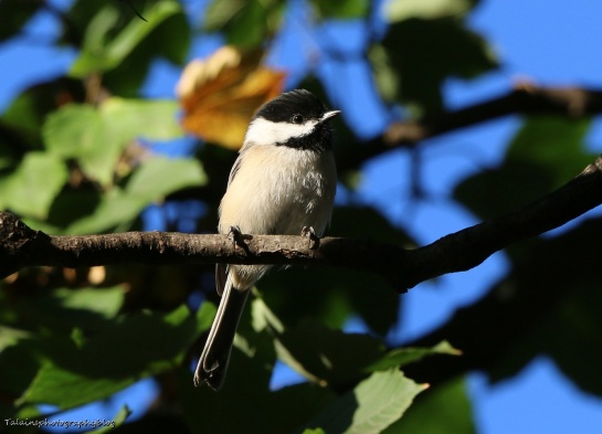 Black-capped Chickadee 017