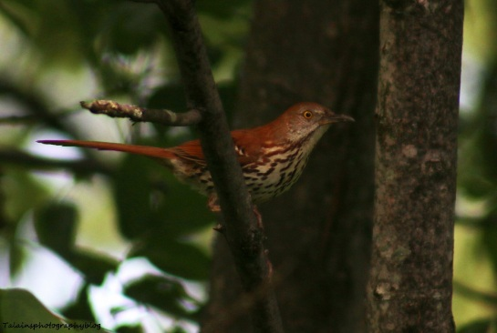 Brown Thrasher 001