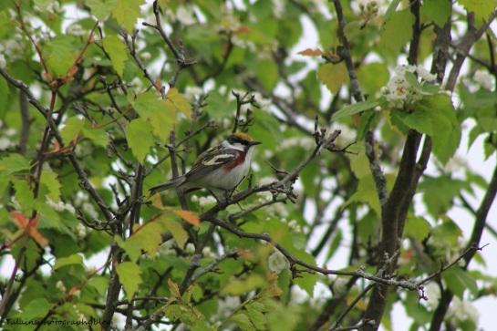 chestnut-sided warbler 029