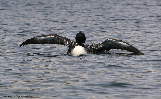 Common Loon 026