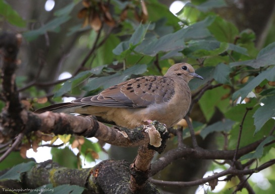 Dove, Mourning 009