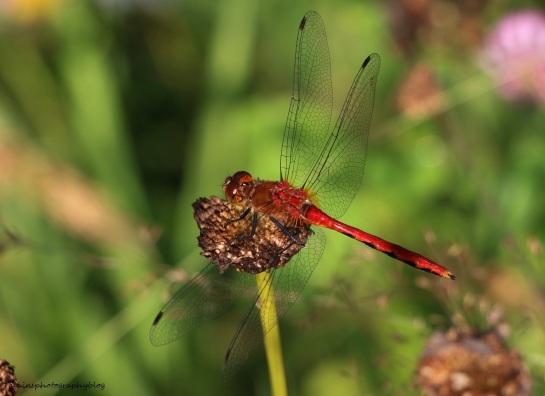 Dragomfly 009