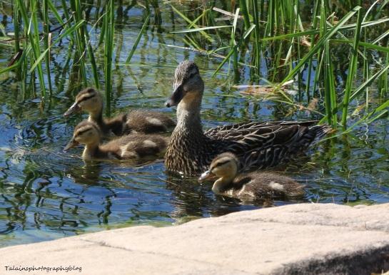 Ducks, Mallard 045