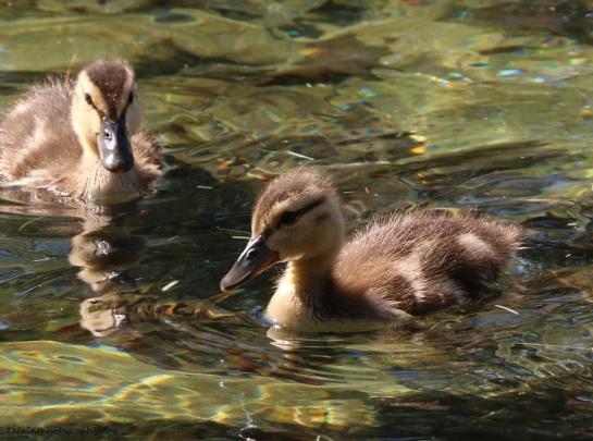 Ducks, Mallard 047X