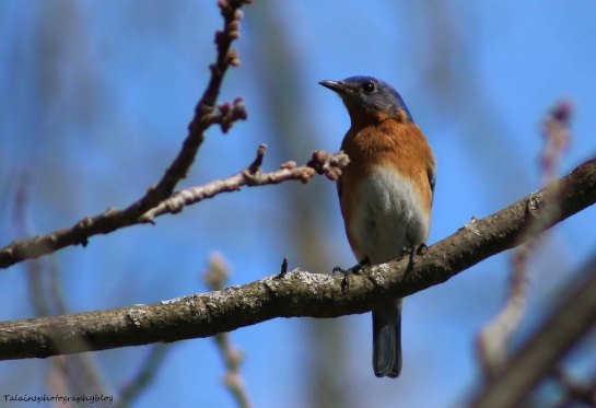 Eastern Bluebird 010