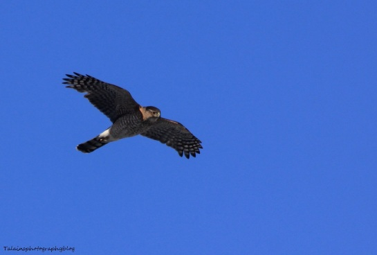 Hawk, Sharp-shinned 003