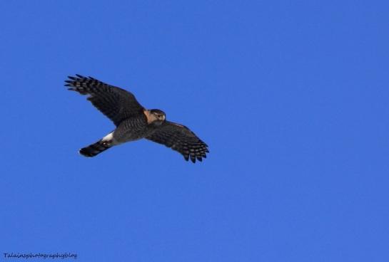 Hawk, Sharp-shinned 003