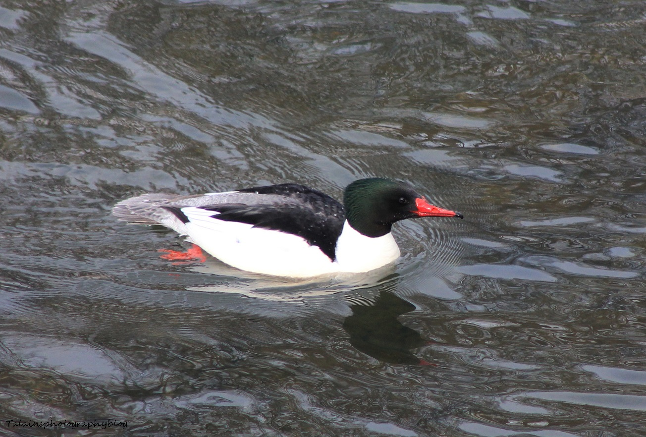 Merganser, Common 020