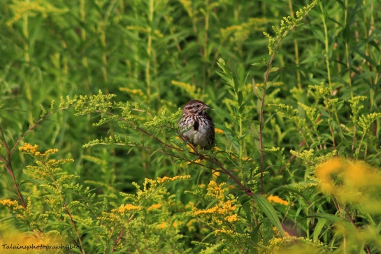 song sparrow 019